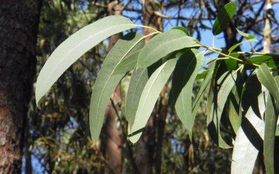 L'HE d'eucalyptus globuleux