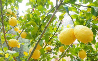 L'essence de citron