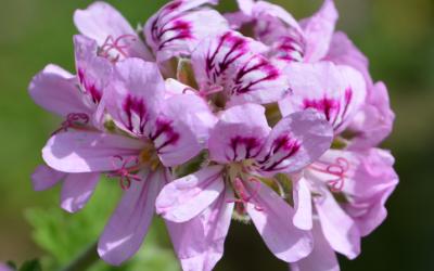 L'HE de géranium rosat