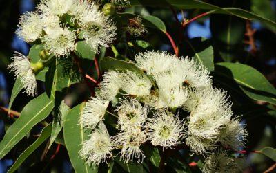 L'HE d'eucalyptus citronné
